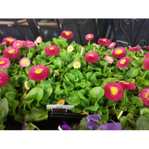 13 - Tray of english daisies bellisima rose...