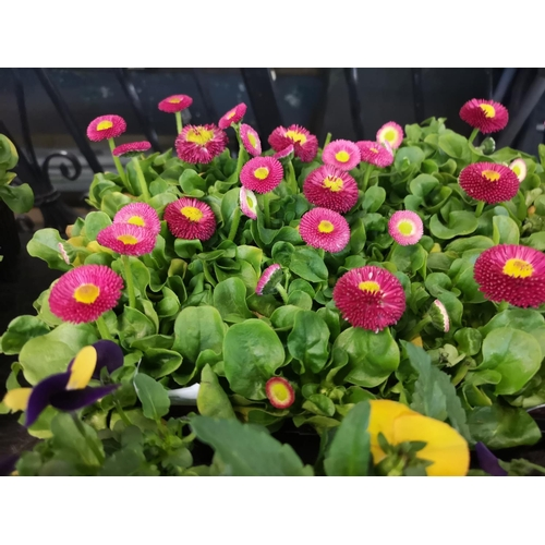 14 - Tray of english daisies bellisima rose...