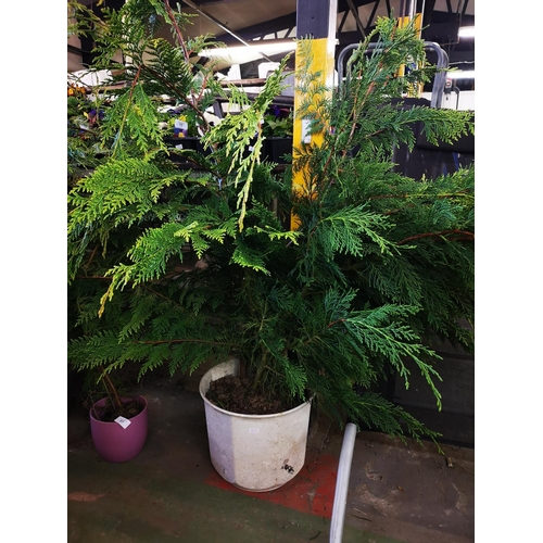 4 - Large potted fir tree...