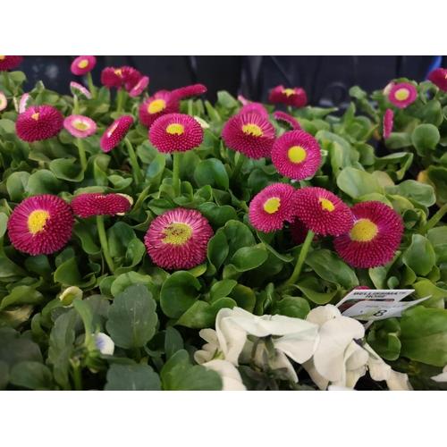 8 - Tray of english daisies bellisima rose...