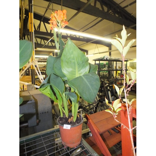39 - Potted canna lily...