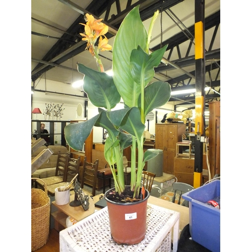 41 - Potted canna lily...