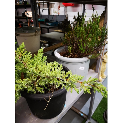 25 - Potted conifer and potted heather plants...