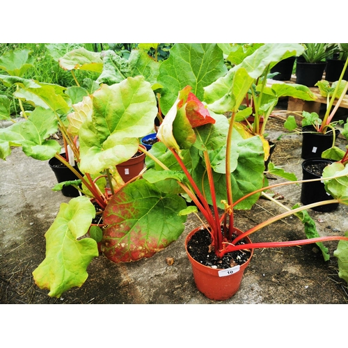 10 - Six rhubarb plants....