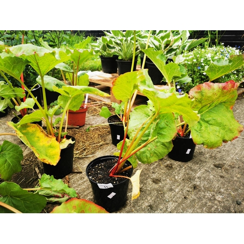 11 - Six rhubarb plants....