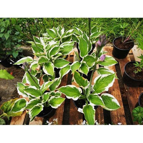 12 - Six Hosta 'patriot' plants....