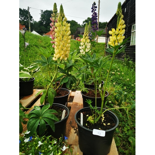 13 - Six Lupins, various colours....