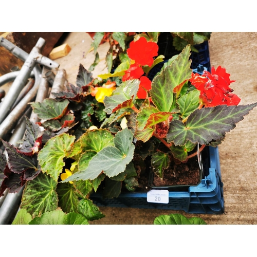 20 - Twelve non stop begonia plants....