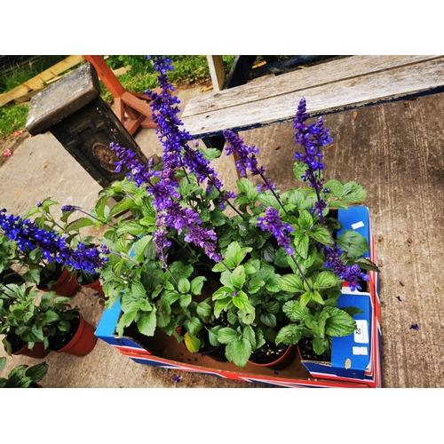 22 - Eight Mystic salvia spure plants....
