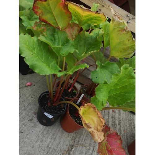 14 - Three potted rhubarb plants...