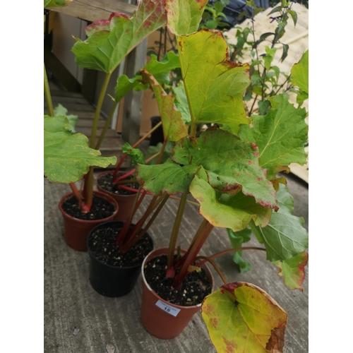 15 - Three potted rhubarb plants...