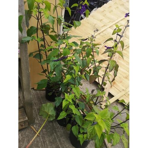 16 - Three potted blue salvia plants - Amistad...