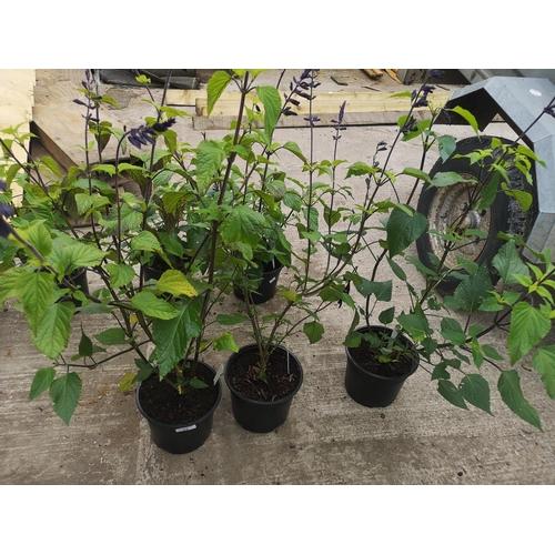 17 - Three potted blue salvia plants - Amistad...