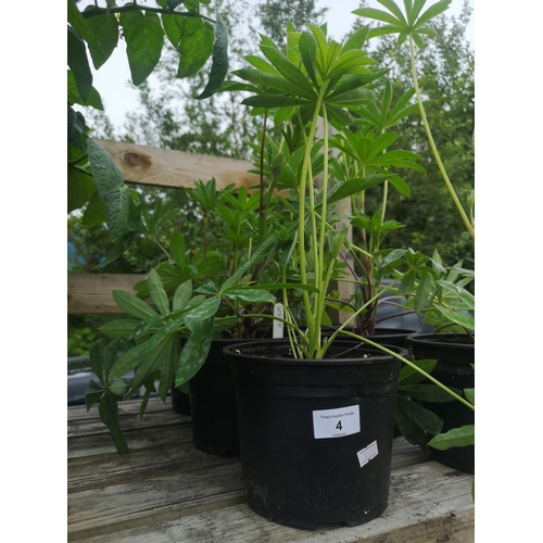 4 - Three potted lupin plants - white...