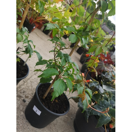 8 - Potted Virginia creeper...