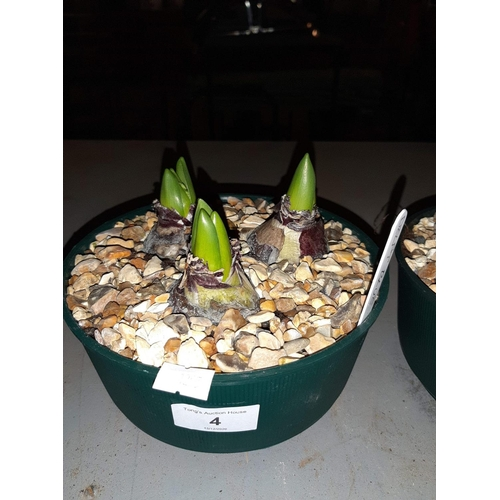 4A - Three Hyacinths in a bowl with decorative gravel....