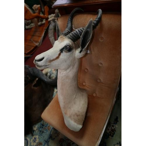 357 - A taxidermy study of a springbok head...