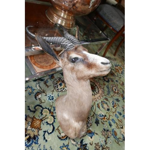 361 - A taxidermy study of a springbok head...