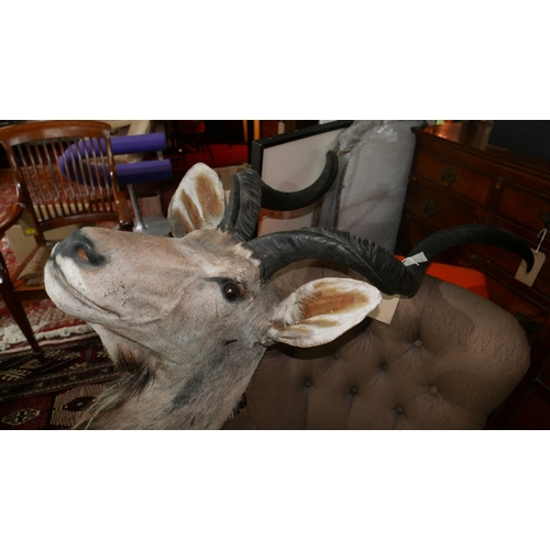 367 - A taxidermy study of a Kudu head...