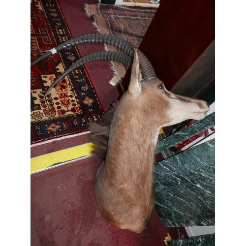 369 - A taxidermy study of an African oryx head...