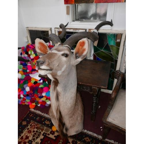 373 - A taxidermy study of a Kudu head...