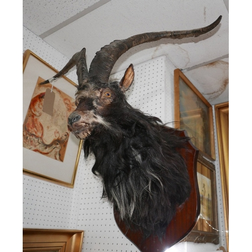 377 - A taxidermy study of a black mountain goat head...
