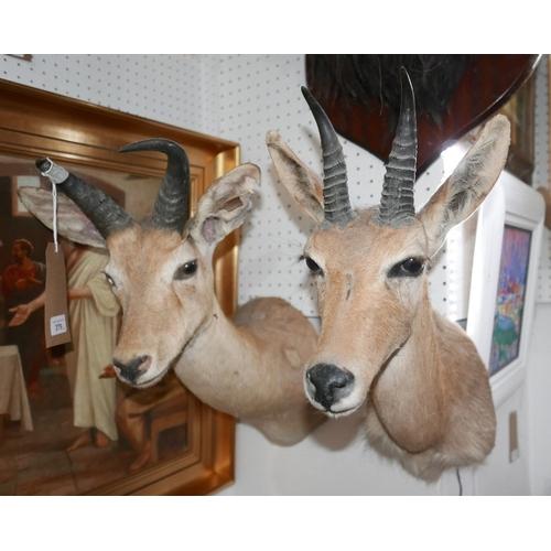 379 - Two taxidermy studies of gazelles...