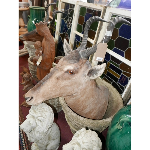 383 - A taxidermy study of an antelope head...