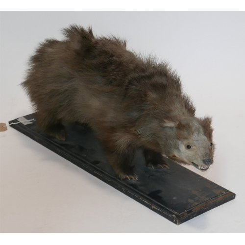 10 - A Victorian taxidermy study of a badger, on ebonised rectangular stepped stand, H.35 L.74cm...