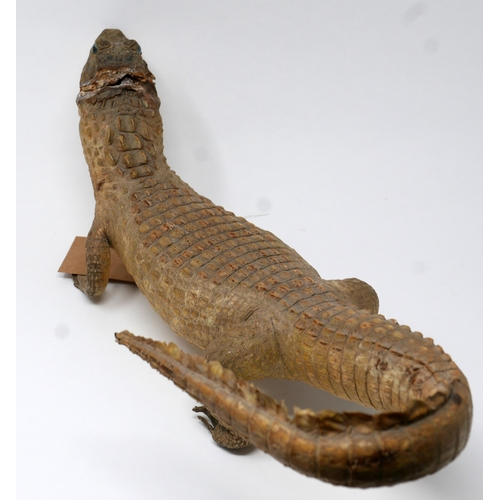 267 - A taxidermy study of a caiman, head had ripped apart, L.54cm...