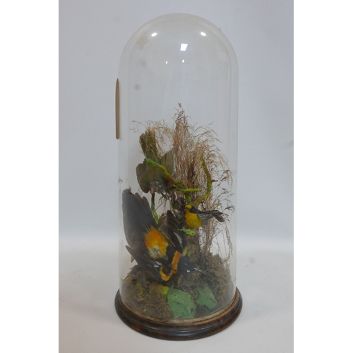 141 - A taxidermy study of birds in naturalistic setting and under glass dome, H.58cm...