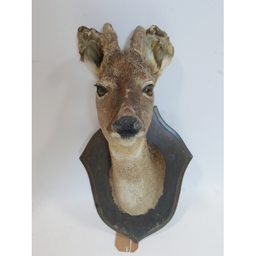 145 - A taxidermy study of a deer's head on oak plaque...