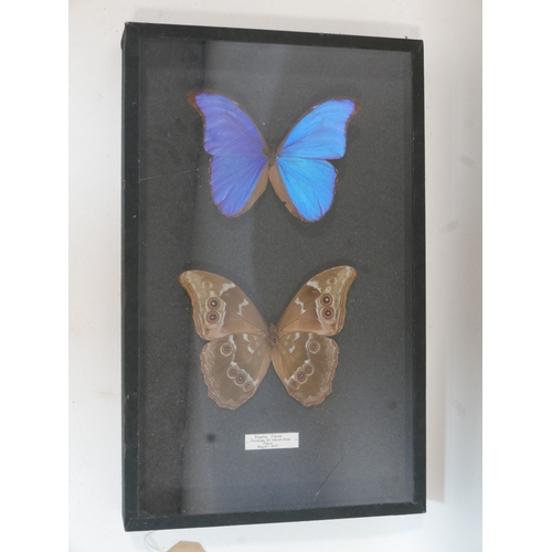 171 - A framed morpho didius butterfly caught by Viktor Wynd in Peru 2007...