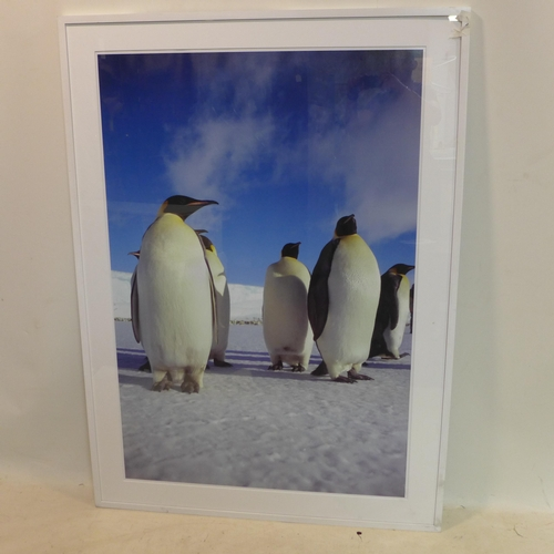533 - Angus McDonald, a large photographic print of penguins, 126 x 86cm...