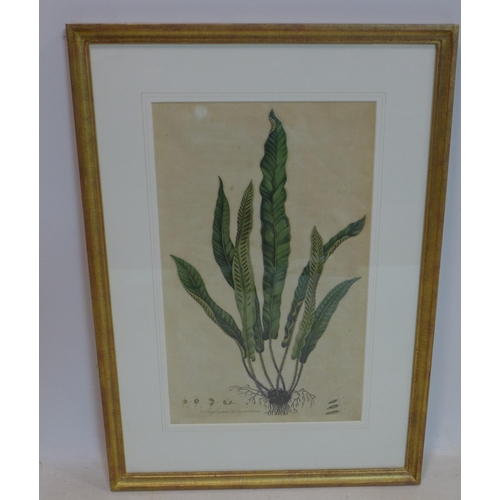 539 - A 19th century coloured engraving of a asplenium scolopendrium, 46 x 28cm...