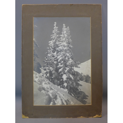 305 - A photograph of pine trees covered in snow, calotype (?), ca. 1920s, indistinctly signed lower right...
