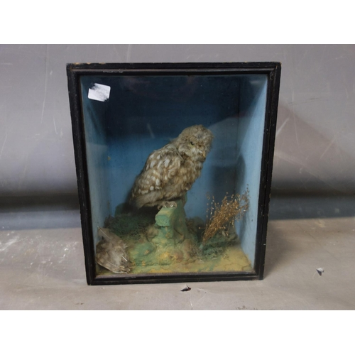 135 - A taxidermy study of an owl, in display case, H.30 W.26 D.16cm...