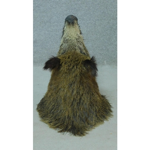 55 - An antique taxidermy wild boars head with glass eyes. H.50 W.42cm...