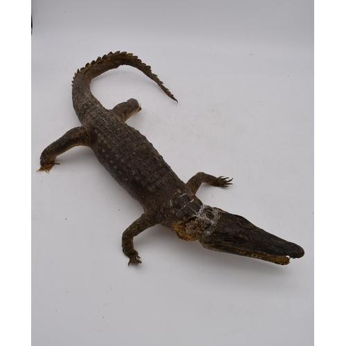 45 - An antique taxidermy juvenile alligator. L.70cm...