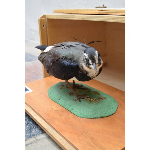62 - A taxidermy Northern Lapwing (vanellus vanellus) on slide out base in bespoke fitted travelling safe...