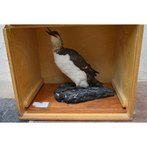 79 - A specimen taxidermy Common Guillemot (uria aalge) on naturalistic rocky outcrop on slide out base i...