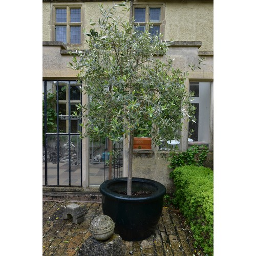 97 - An olive tree in large faux ceramic planter. (H. about ten feet).