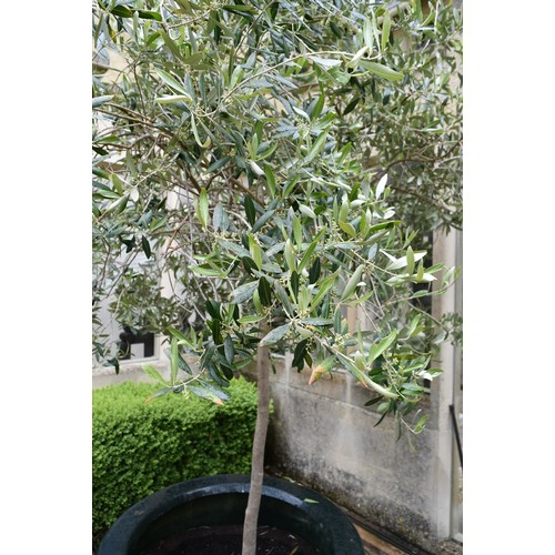 98 - An olive tree in large faux ceramic planter. (H. about ten feet).