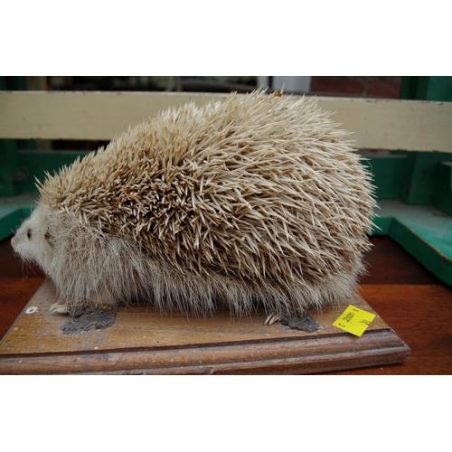 1208 - <strong>Taxidermy:&nbsp;</strong>a hedgehog, on oak plinth, 24cm long.&nbsp;...
