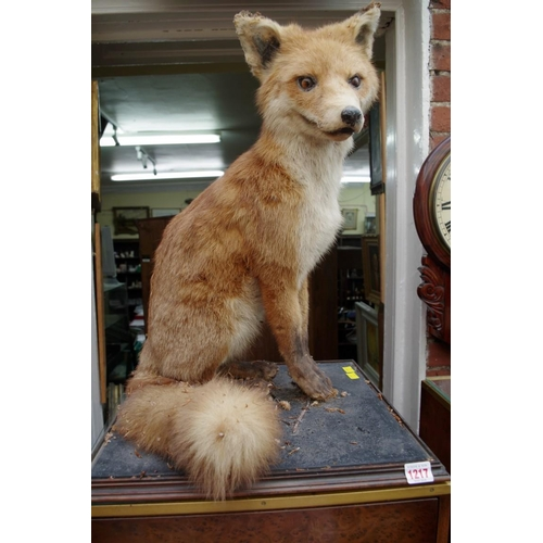 1217 - <strong>Taxidermy: </strong>a fox, seated on its haunches, 57cm high....