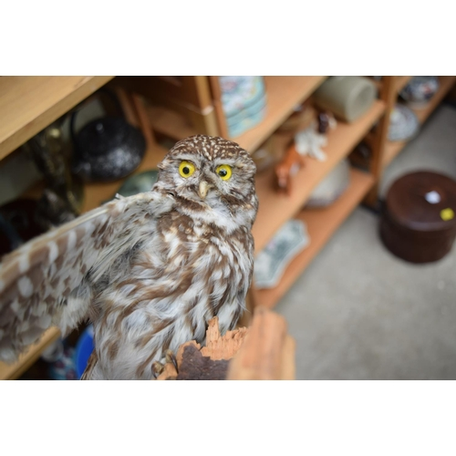 1231 - <strong>Taxidermy:</strong> a little owl....