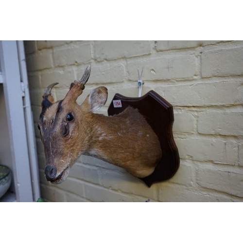 1254 - <strong>Taxidermy:</strong>a Muntjac deer head, on mahogany shield....