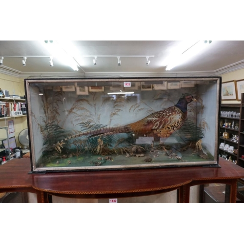 1433 - <strong>Taxidermy:</strong> a Cock Pheasant, in a glass fronted case, 43 x 90cm....