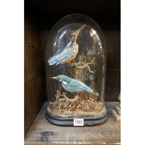1562 - <strong>Taxidermy:</strong>two Kingfishers, under a glass dome, total height 35.5cm....