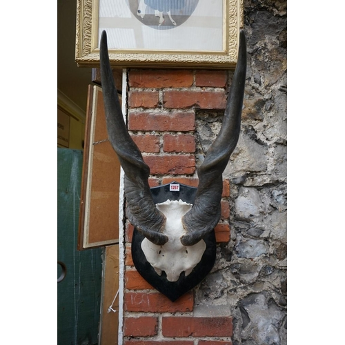 1257 - <strong>Taxidermy:</strong>a large pair of antelope horns, with partial skull mount, on ebonized sh...